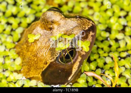 Todavía rana común (Rana temporaria) medio sumergida en el estanque de jardín estanque rodeado de maleza. Tomadas en Poole, Dorset, Inglaterra.