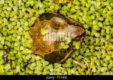 Todavía rana común (Rana temporaria) desde arriba medio sumergida en el estanque de jardín estanque rodeado de maleza. Tomadas en Poole, Dorset, Inglaterra.