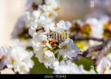 Primer plano de una abeja polinizando una flor de cerezo