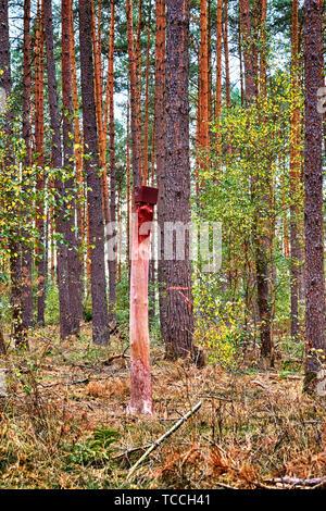 Una piedra de sal en el bosque. Un lickstone para animales silvestres como el venado que está montado sobre un tronco de árbol.