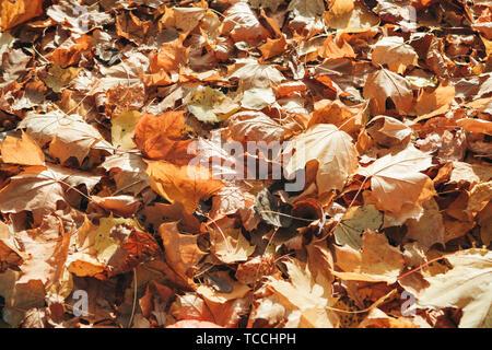 Muchas hojas de arce tenderse en el suelo en el otoño. La temporada de otoño.