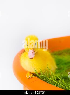Lindo bebé Pato Pascual en la hierba