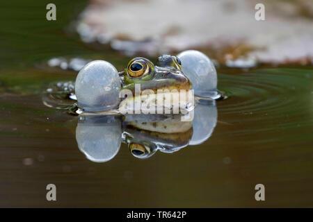 Unión comestibles, la rana común (RANA rana comestible kl. esculenta, Rana esculenta, Pelophylax esculentus), croar varón en la superficie del agua, en Alemania, en el Estado federado de Mecklemburgo-Pomerania Occidental