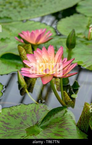 Lily, estanque de nenúfares (Nymphaea 'Albert Greenberg', Nymphaea Albert Greenberg), floreciendo Albert Greenberg