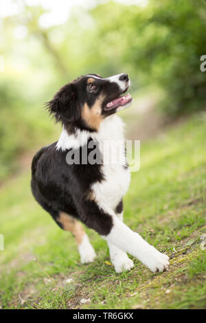 Pastor Australiano (Canis lupus familiaris) f., cachorro en una pradera, Alemania