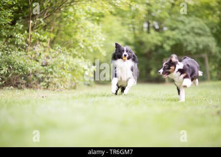 Pastor Australiano (Canis lupus familiaris) f., retozo con un cachorro en una pradera, Alemania
