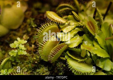 La más famosa de las plantas carnívoras dionea atrapamoscas Dionaea muscipula o Venus atrapamoscas.