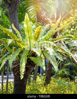 Las hojas verdes de Bird's Nest planta tropical de helechos crecen en árbol en el jardín de verano / estacionamiento Asplenium nidus
