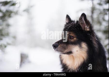 Acabado en Lapphund nevado paisaje invernal. El enfoque selectivo y profundidad de campo.