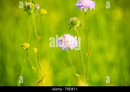 Miel de abejas polinizadoras flower .