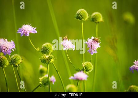 La polinización de la abeja de miel de abeja con una segunda flor en el fondo