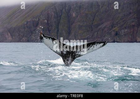 La ballena jorobada (Megaptera novaeangliae), cola asomando ot el agua, Islandia