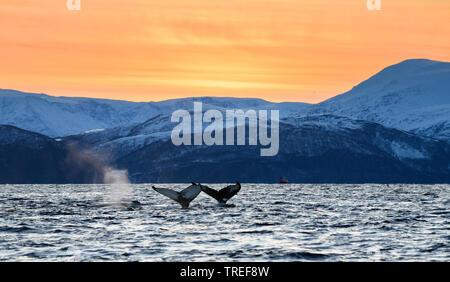 La ballena jorobada (Megaptera novaeangliae), trematodos delante del paisaje de la costa norte, Noruega