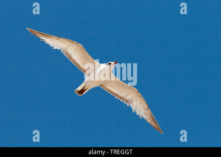Gaviota mediterránea (Ichthyaetus melanocephalus, Larus melanocephalus), inmaduros en vuelo contra el cielo azul, España