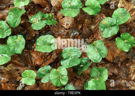 Unión Beech, común haya (Fagus sylvatica), brotando de plántulas en hojarasca. Alemania