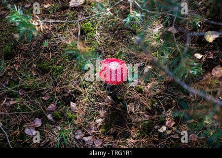 """A la del """"reig bord"""" las setas en el bosque, Amanita muscaria"""
