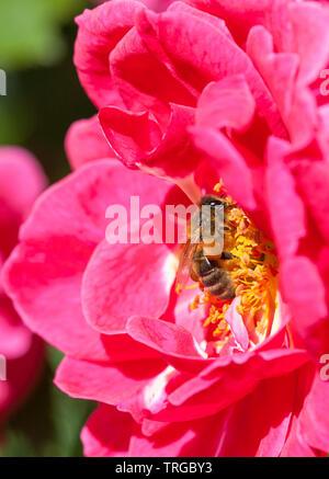 Abeja de miel, Apis mellifera, cazando una rosa rosa, sacos de polen, la polinización, el insecto polinizador