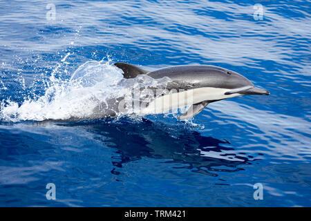 Blowhole abierto, este delfín común, Delphinus delphis, uno en una escuela de más de 1000, sectores de la superficie del Pacífico Oceran, fuera de México.
