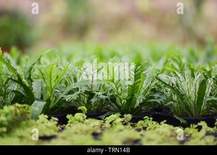 Las hojas verdes de nido de pájaro helecho en vivero de plantas agrícolas de fondo - Asplenium nidus helecho