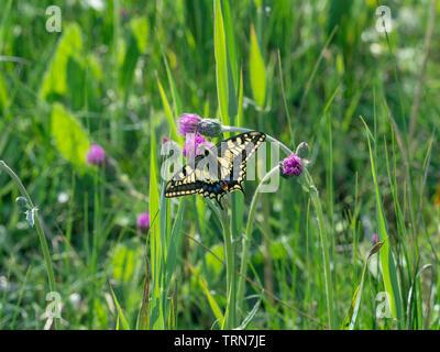 Especie de mariposa Papilio machaon en Norfolk Broads