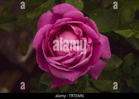 Cerca de una hermosa rosa rosa redonda perfecta con hojas verdes Foto de stock