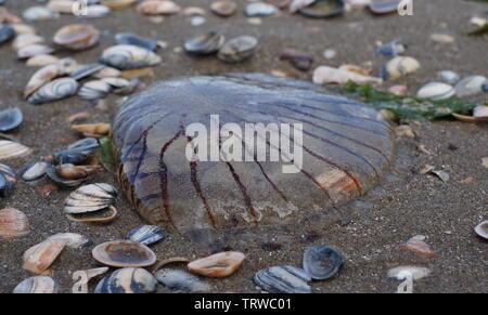 Chrysaora hysoscella, también conocida como la brújula medusas, arrastrados hasta la orilla.