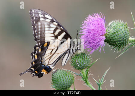 Especie Butterfly Vista cercana de un toro Thistle Foto de stock