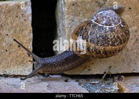 Cerrar Foto de un caracol de jardín común arrastrándose sobre un ladrillo de piedra