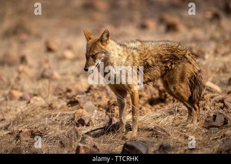 Indian Chacal o Canis aureus indicus agresivamente caminando y observando el comportamiento posible presa en la reserva de tigres de ranthambore, Rajasthan, India