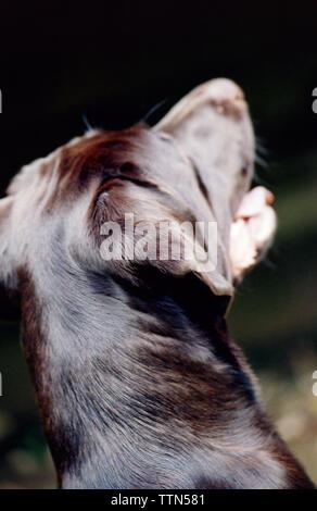 Perro labrador marrón chocolate Retriever mirando con la boca abierta. Mujer adulta. Imagen de la parte posterior que muestra el cuello y la cabeza.