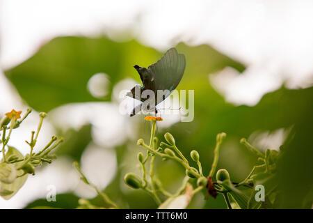 Cerca de butterfly polinizando en flor