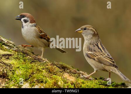 Árbol gorrión (Passer montanus, izquierda) y hembra gorrión (Passer domesticus, derecha) en un registro de musgo. Alemania