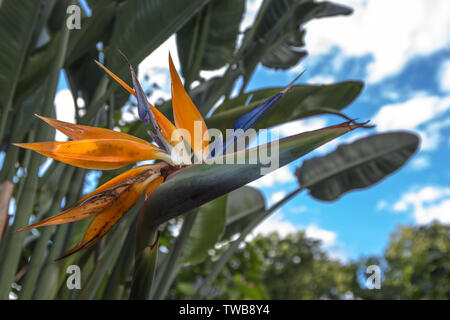 Hermosa Flor Ave del Paraíso (Strelitzia reginae) aislados en verde y con un cielo azul con nubes