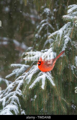 Cardenal norteño masculina (Cardinalis cardinalis), plantas perennes,invierno, E América del Norte, por Dominique Braud/Dembinsky Foto Assoc