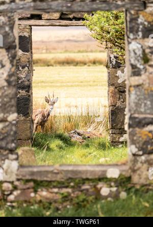 Corzo enmarcada como con prudencia busca a través de la puerta de una caseta abandonada, Loch Gruinart, Islay, Escocia