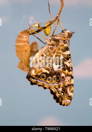 Un Painted Lady butterfly, Vanessa cardui, justo después eclosing (emergentes) de su crisálida.