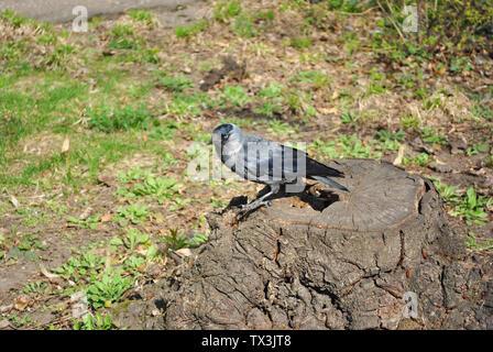 Rook negro con ojos azules mirando y sentado en el tocón de árbol aserrada, pradera con primer PRIMAVERA hierba en antecedentes