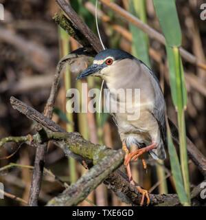 Close Up retrato de una sola noche aislado en aves silvestres Heron- Delta del Danubio Rumania