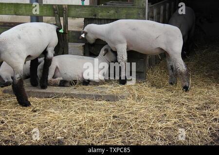 Ovejas domésticas, Ovis aries, Suffolk raza, colgando en sus plumas de cerdo en la granja.