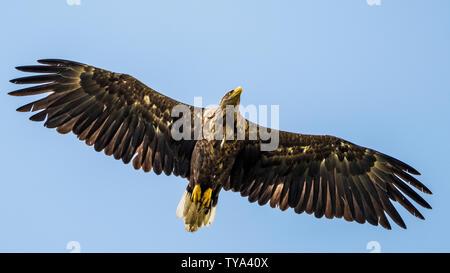 El águila de cola blanca único aislado volando en el cielo -- Delta del Danubio Rumania