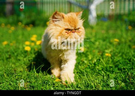 Gato persa rojo en la hierba verde.