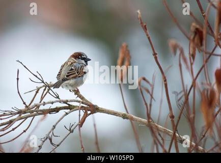 Gorrión, Passer domesticus, en una rama en invierno, Mid Wales, Reino Unido