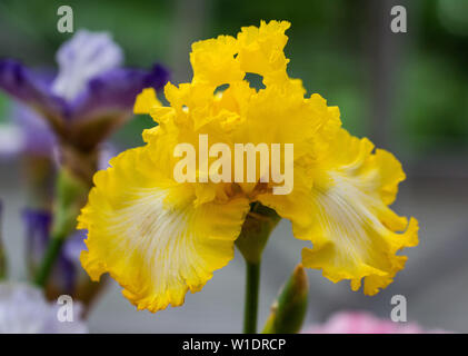 Primer plano de una flor amarilla dulce barbudo iris blanco. Macro Fotografía.