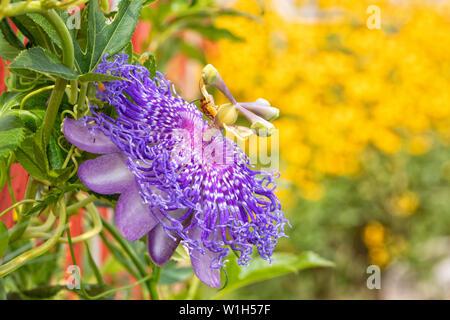 Hermoso púrpura Passionflower, la planta huésped para el Golfo Speyeria orugas de mariposas, florece en verano soleado jardín