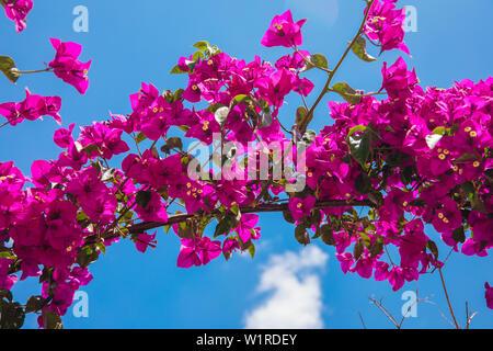 Hermoso color rojo o rosa Buganvilla flores, plantas y jardines de la ciudad de Bodrum, Turquía. Vista del hermoso jardín en la temporada de verano en la ciudad de Bodrum.