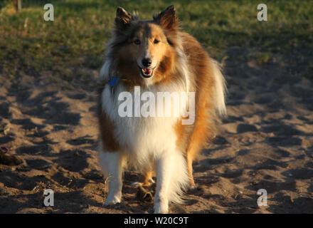 Un Shetland Ovejero o Pastor de Shetland, disfrutando de un día soleado en el parque del perro.