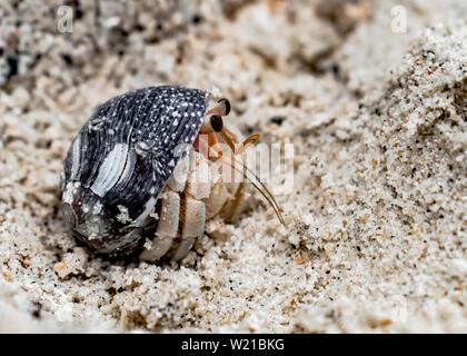 Coenobita rugosus, conocido como cangrejo ermitaño, peeping desde el shell, para observar el entorno a través de flagelo y antenas. Crustáceo de la familia Paguroidea