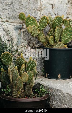 Cactus crecen en macetas en las escaleras como las decoraciones caseras en el lado de la calle.