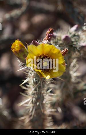 Amarilla silvestre Cholla flor que florece en el desierto de Mojave