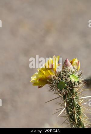 Floración Amarilla Flor de cholla planta en desierto